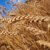 Example - Wheat Pasture Lease (Cost per Gain basis) - Min $0.47 cents/lb